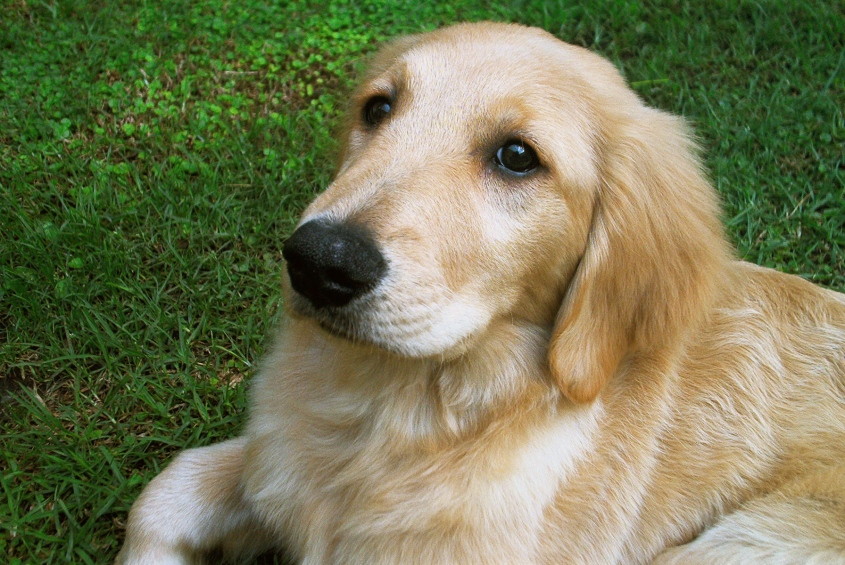 golden_retriever_puppy